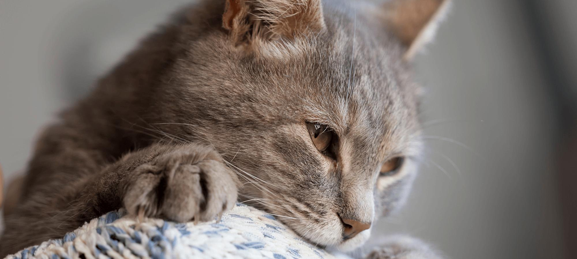 Grey cat rests on shoulder of human