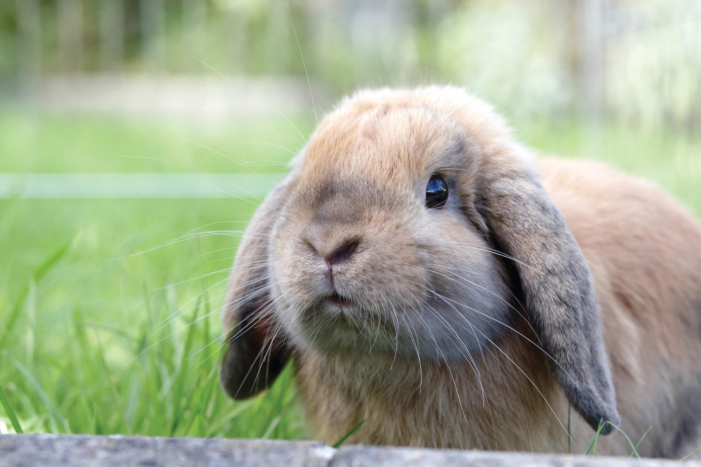 Rabbit vaccinations, worming & desexing   Rabbit Health   PETstock ...