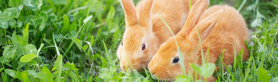 Rabbit Vaccinations, Desexing, Worming & More - PETstock Blog